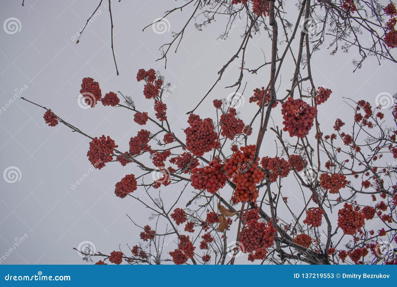 Rowan το χειμώνα σε ένα πάρκο πόλεων