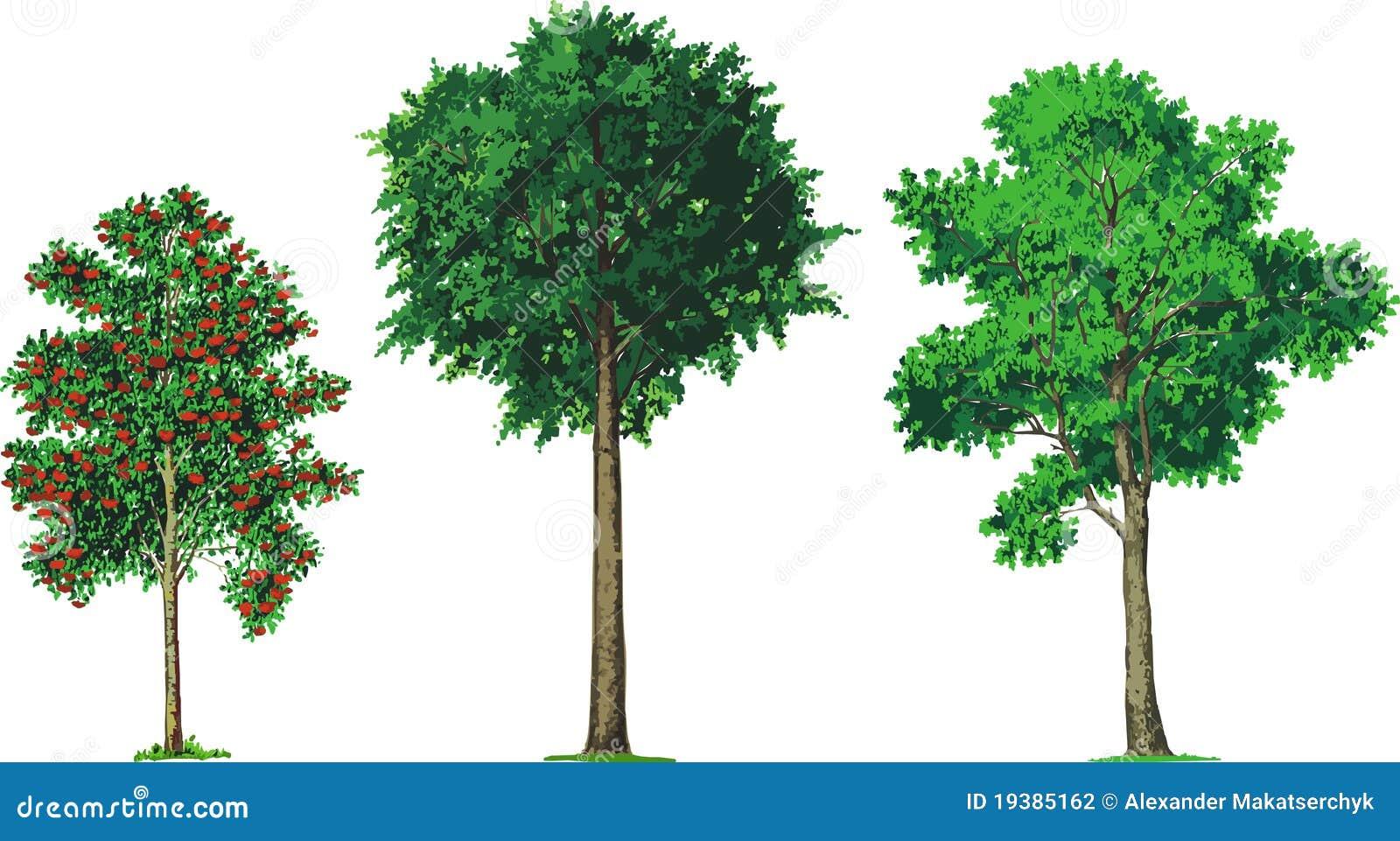 Rowan beech and ash trees vector stock vector for Foto di alberi da colorare