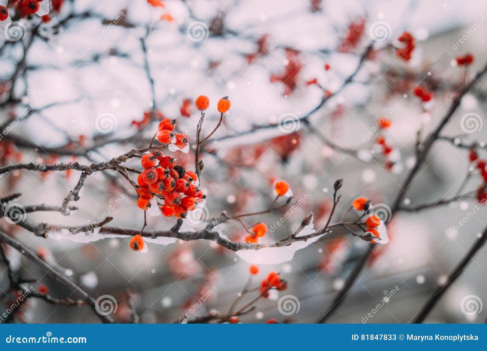 Rowan berries under the snow