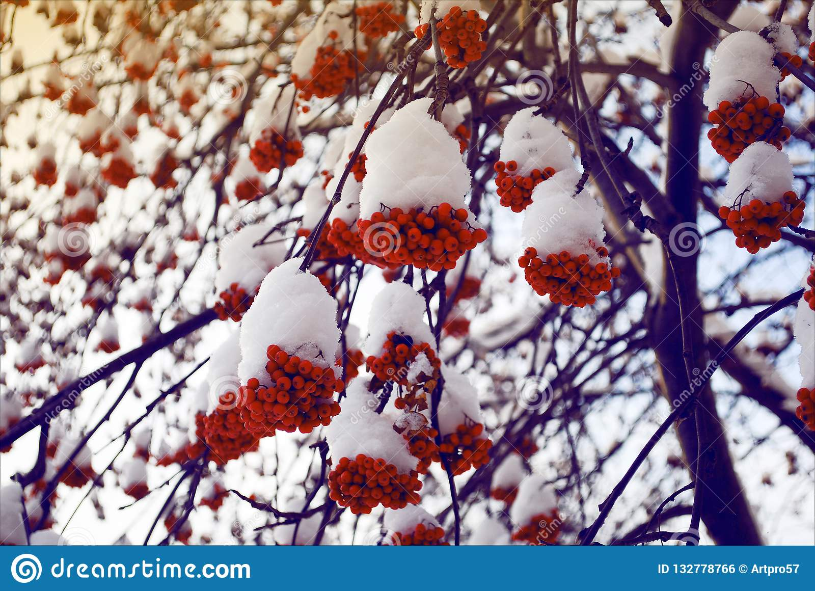 Rowan bunches of snow on the branches