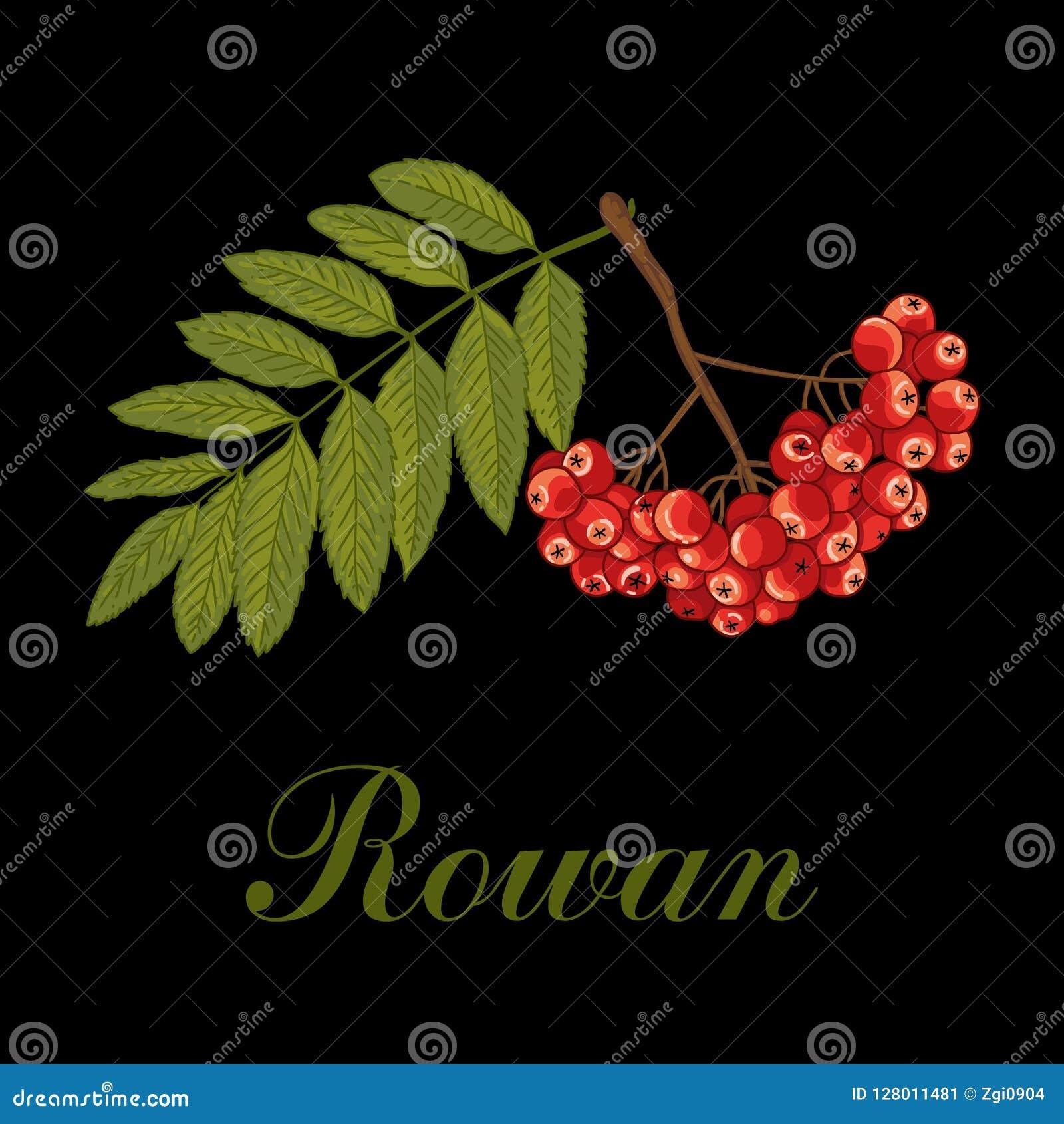 Rowan Gałąź z jagodami również zwrócić corel ilustracji wektora