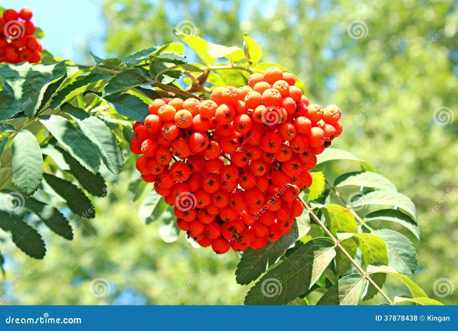 Rowan rozgałęzia się z jaskrawymi jagodami