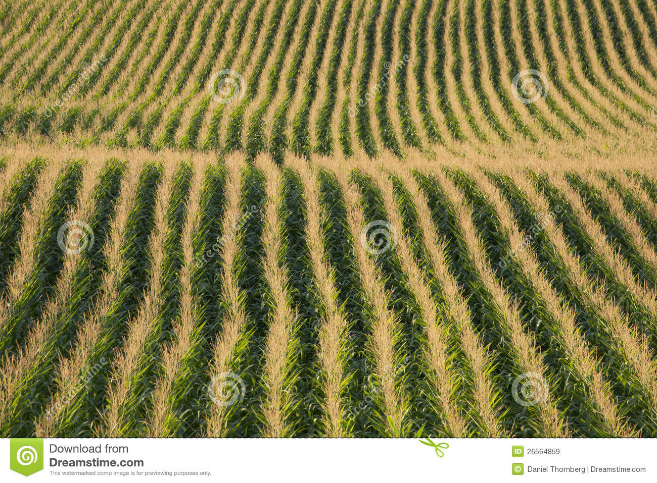 Rows Of Corn In A Field In Late Afternoon Sun Royalty Free ...
