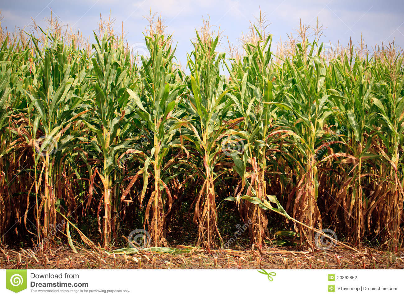 Rows Of Corn Ready For Harvest Stock Photography - Image ...