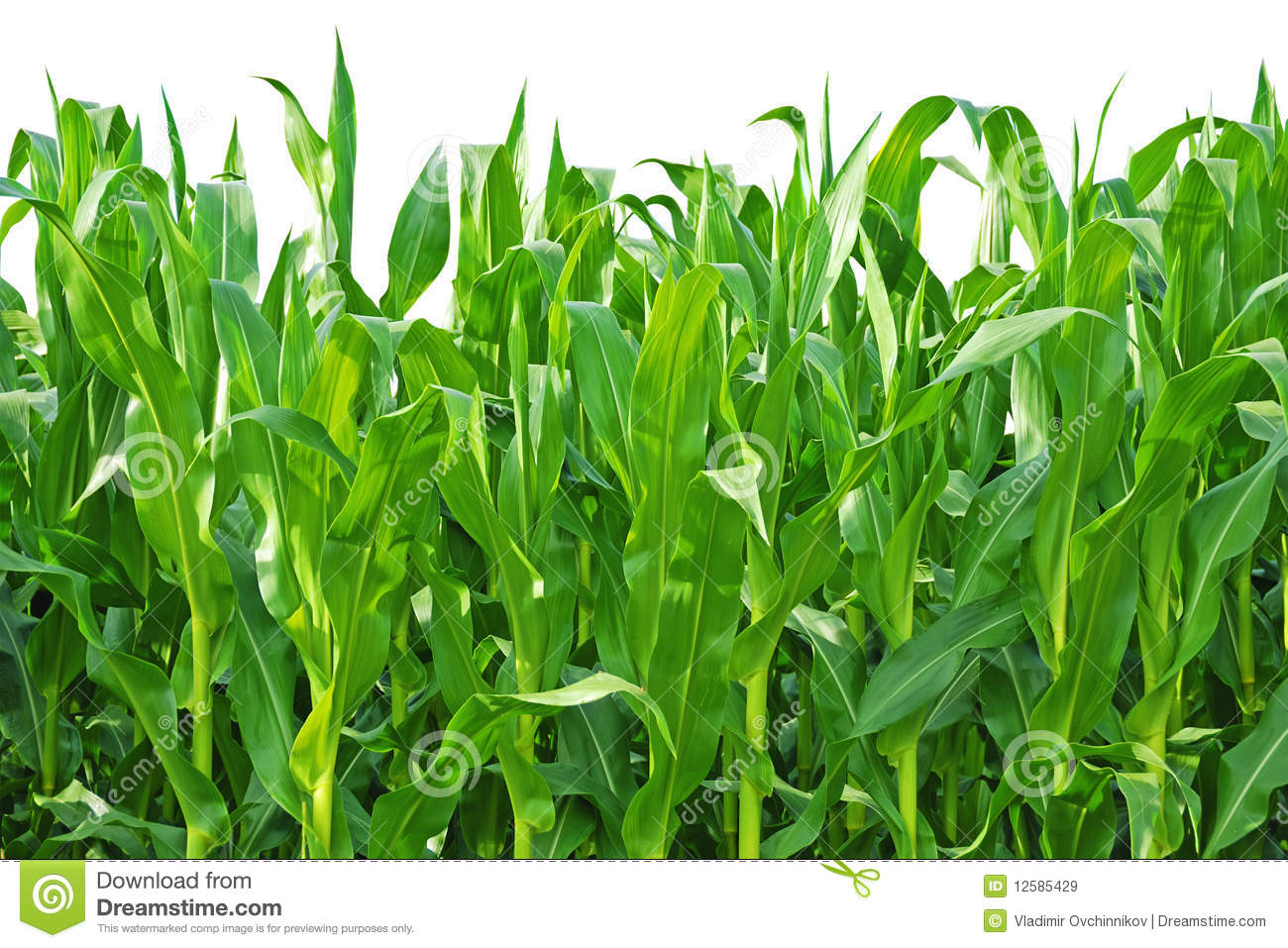 Field Of Corn Clipart - More information