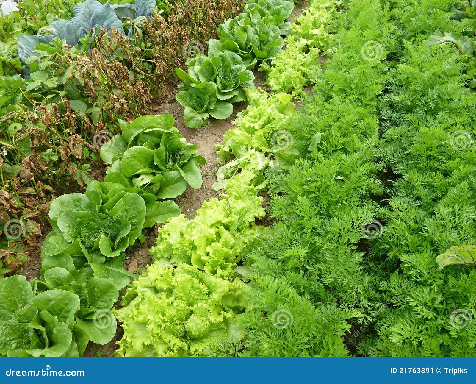 Vegetable garden rows - Rows In A Garden Stock Image