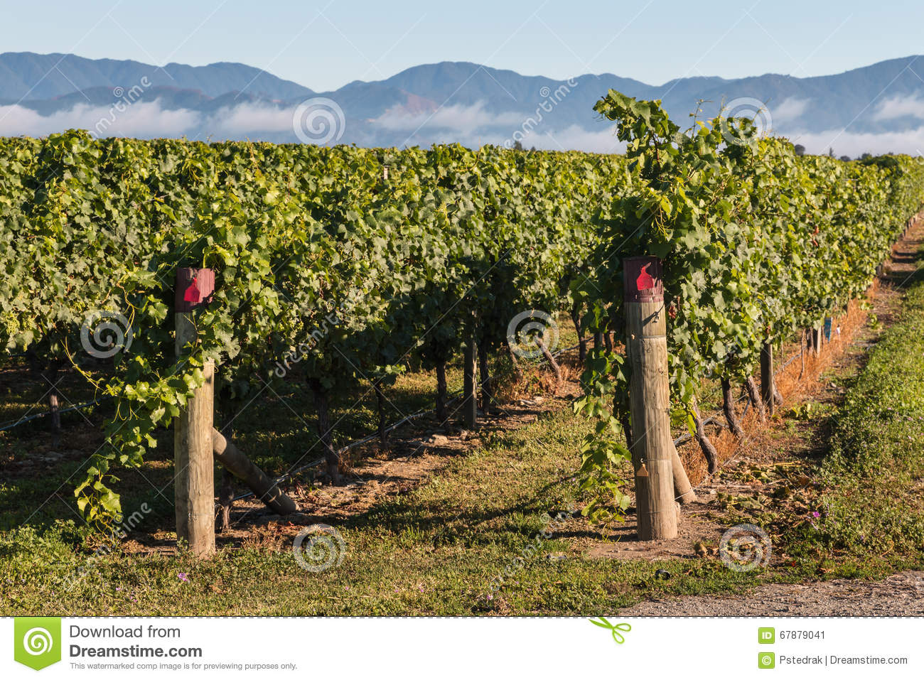 Rows of grapevine in vineyard