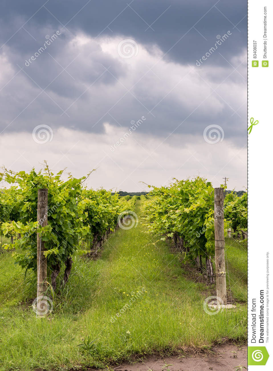 Rows of grapevines in Texas Hill Country