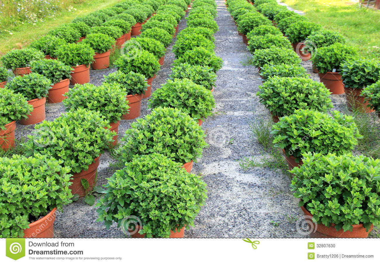 Rows of healthy potted plants at the local nursery stock photo image 32807630 - Seven tricks for healthier potted plants ...
