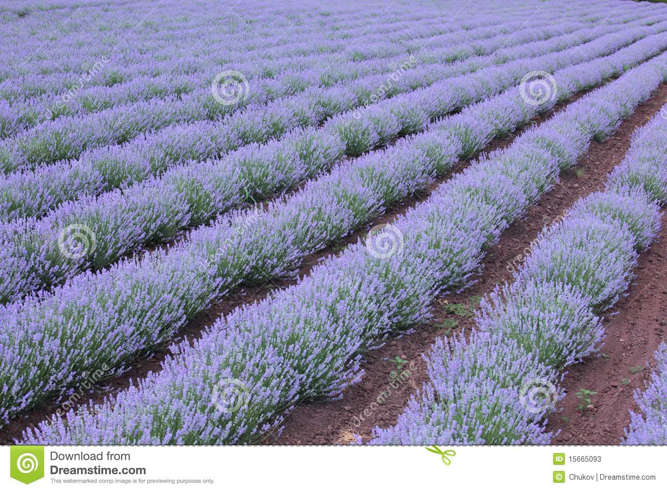 exceptional when to plant lavender Part - 2: exceptional when to plant lavender nice ideas