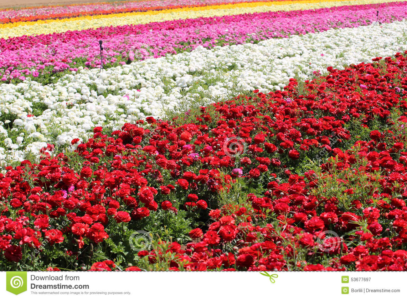 Rows Of Multi Colored Flowers In A Field In The Keukenhof Stock ...