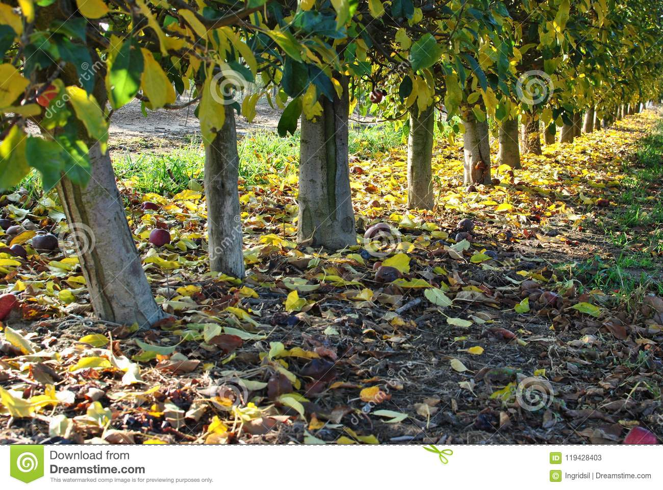 Rows of pear trees at sunrise. Autumn. Fallen yellow leaves.