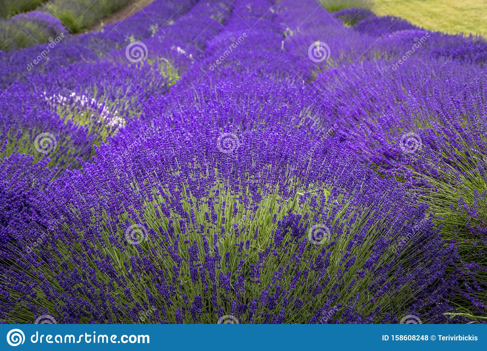 Blooming Lavender Fields In Pacific Northwest Usa Stock Photo