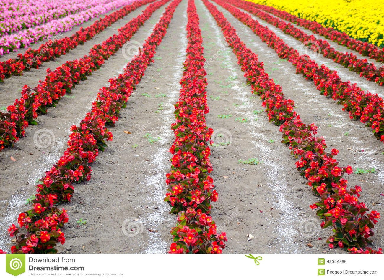 Row Flower Garden : The rows of red begonia flower garden between with ameria
