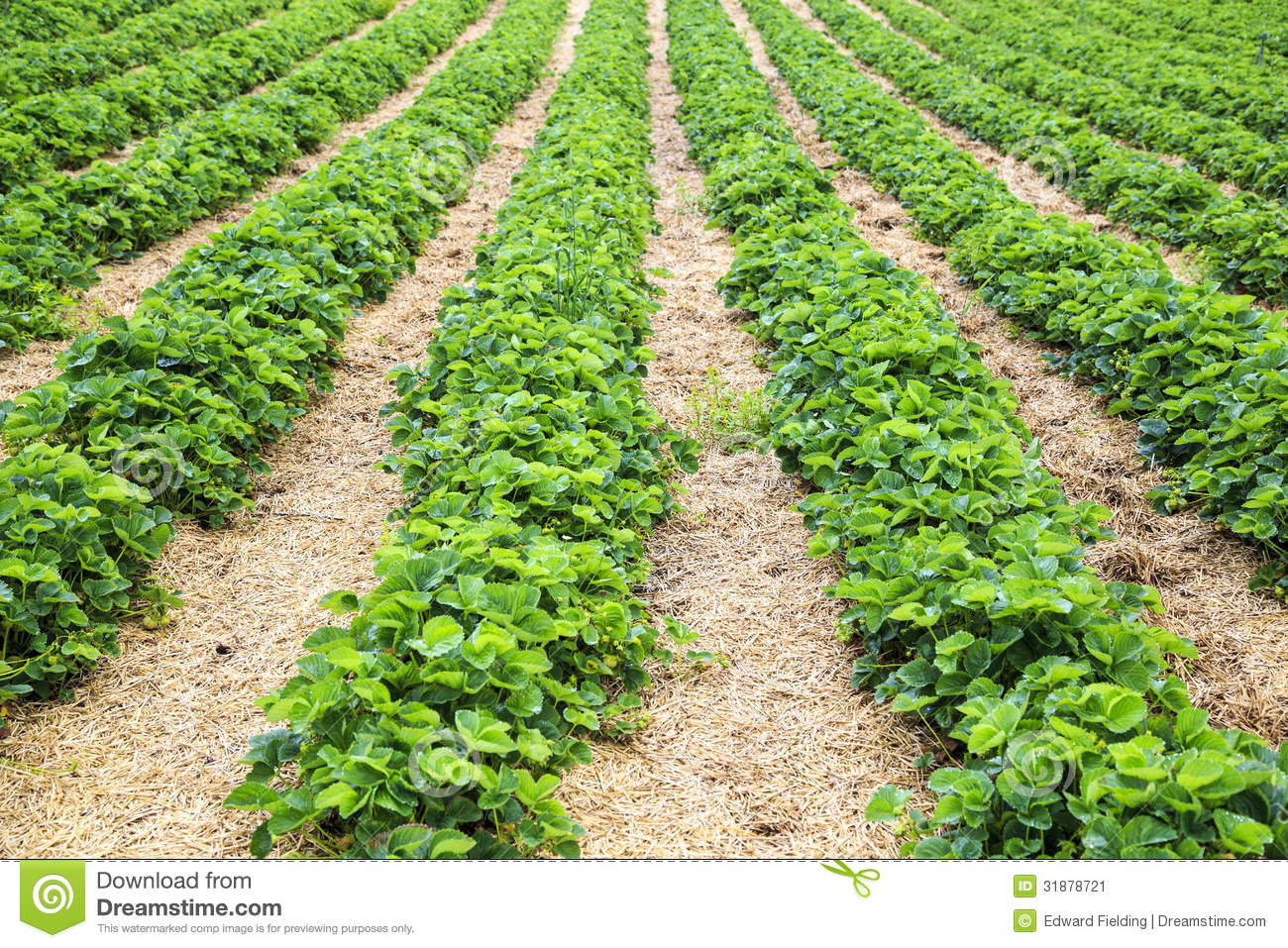 Rows Strawberry Plants On A Farm Stock Image - Image: 31878721