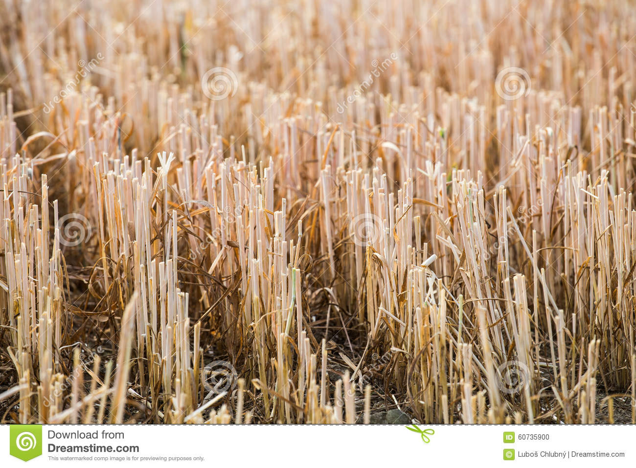 Rows Of Stubble Harvested Wheat Field Stock Photo Image Of