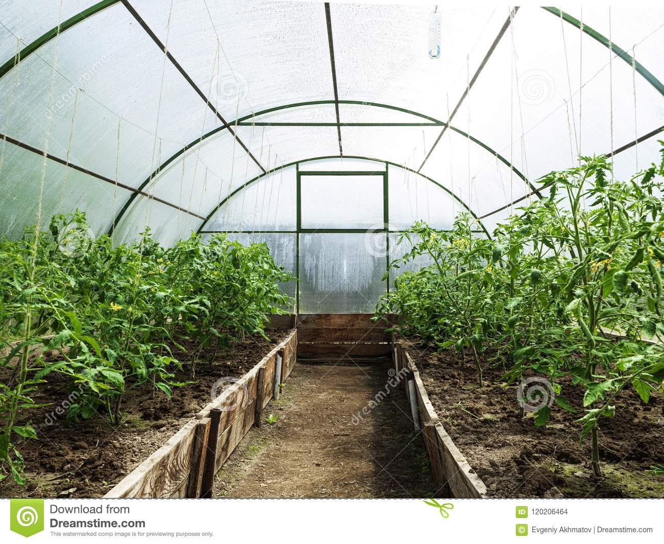 What varieties of tomatoes for greenhouses are bought by experienced gardeners 45