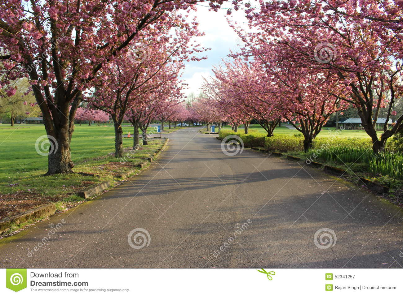 Rows Of Trees Having Pink Flowers In A Green Field Stock Image