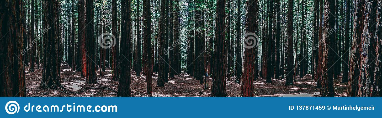 Rows of trees at the Redwood Forest Warburton in the Yarra Valley. Melbourne, Australia