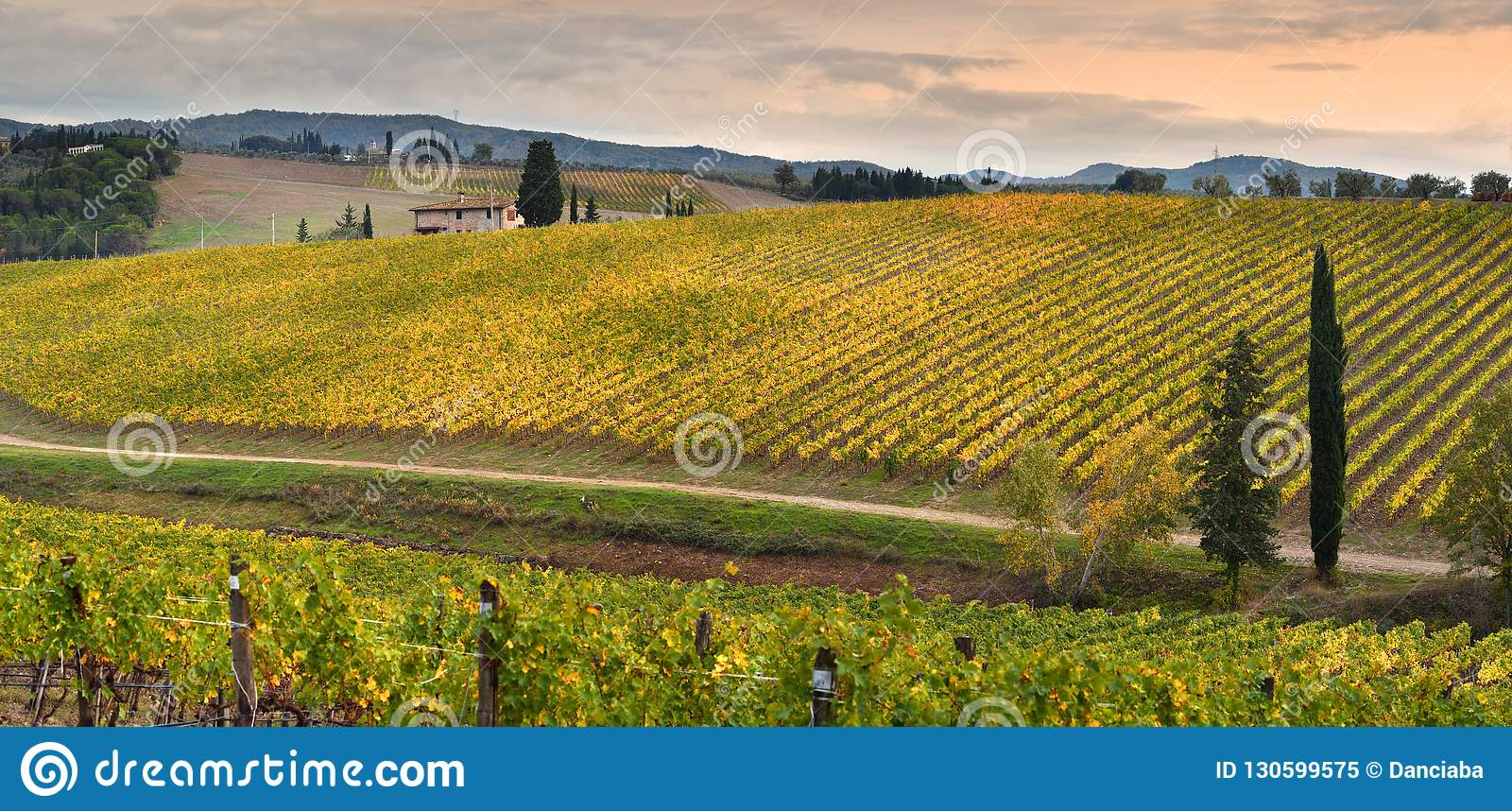 Rows of yellow vineyards at sunset in Chianti region near Florence during the colored autumn season. Tuscany.