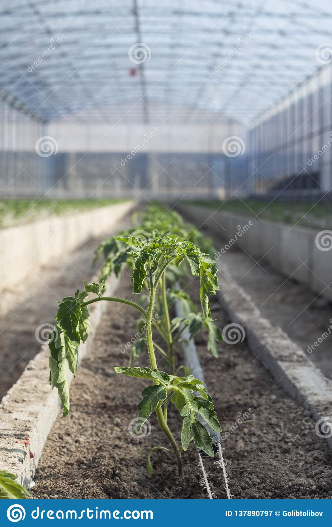 Rows Of Young Tomato Plants In A Greenhouse Stock Image