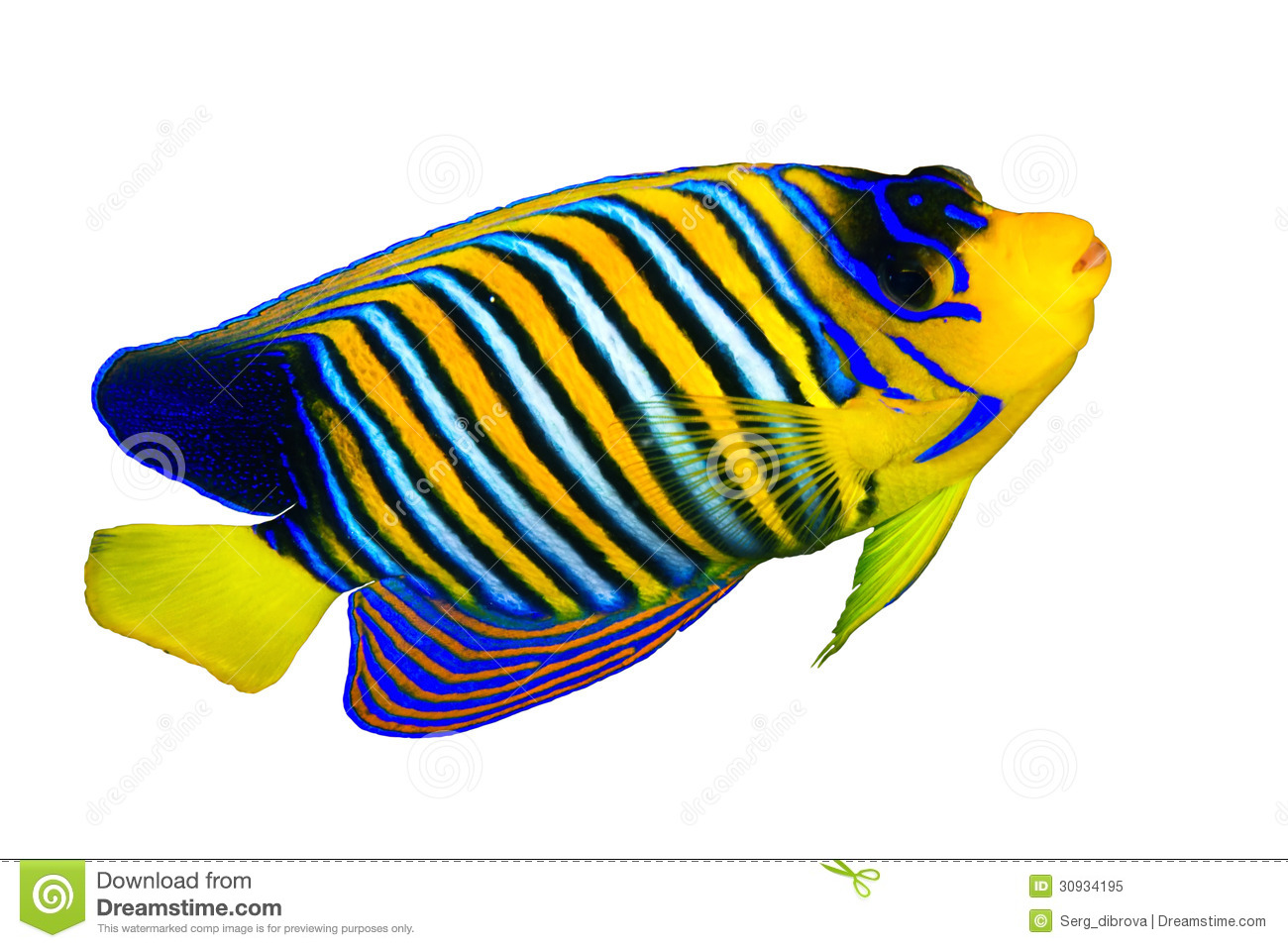 royal angelfish royalty free stock photo image 30934195 Starfish Clip Art clown fish clip art free