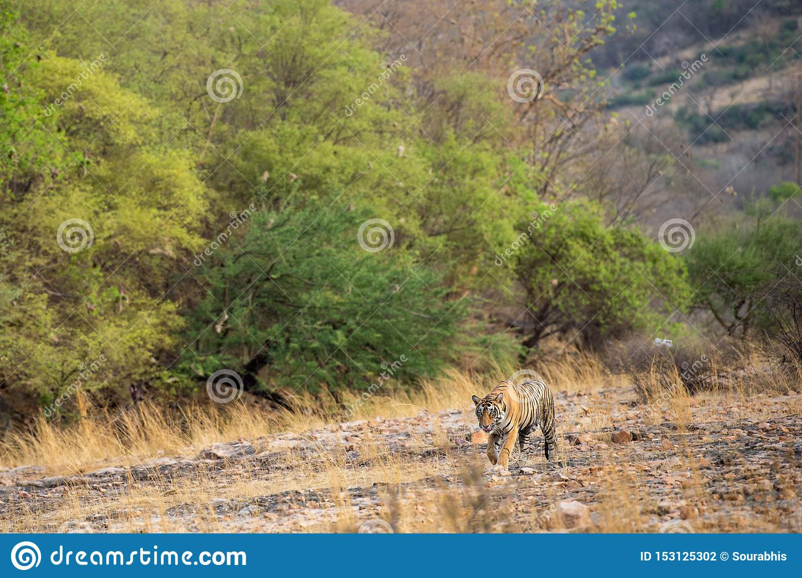 A royal bengal male tiger or panthera tigris on prowl with a beautiful green trees dry hills background landscape of ranthambore