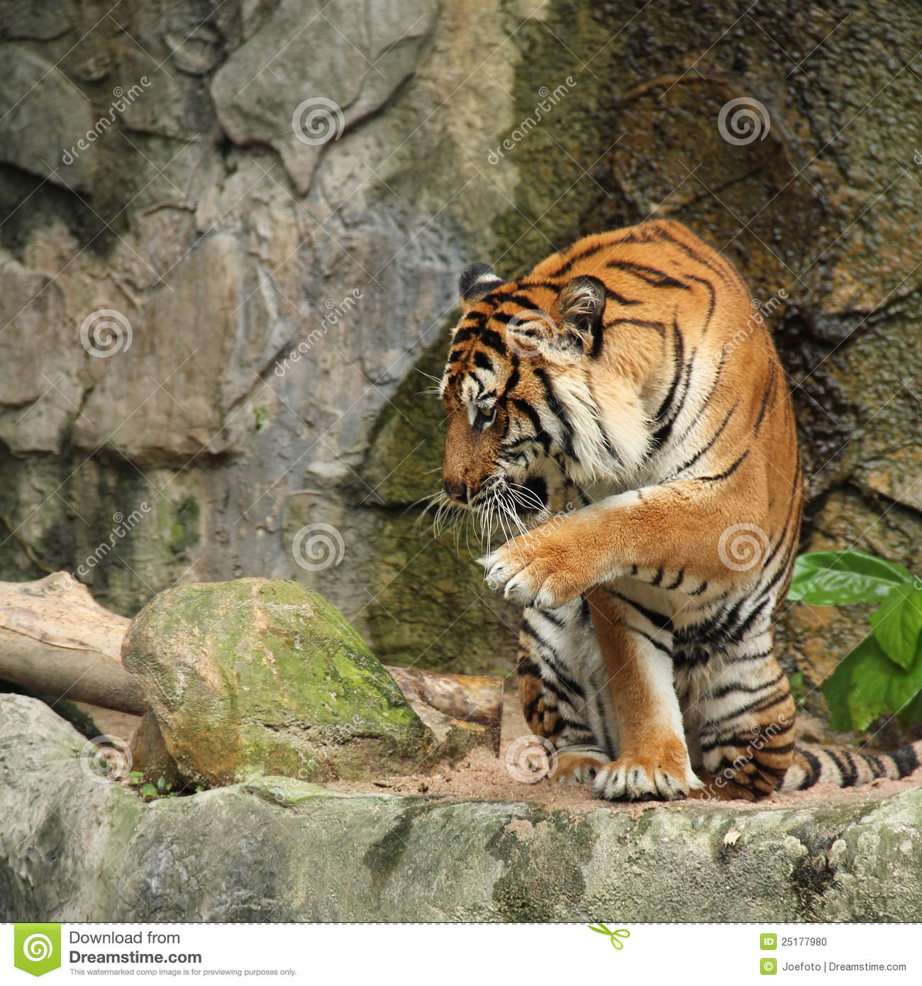 Royal Bengal Tiger In Action Stock Photo - Image: 25177980