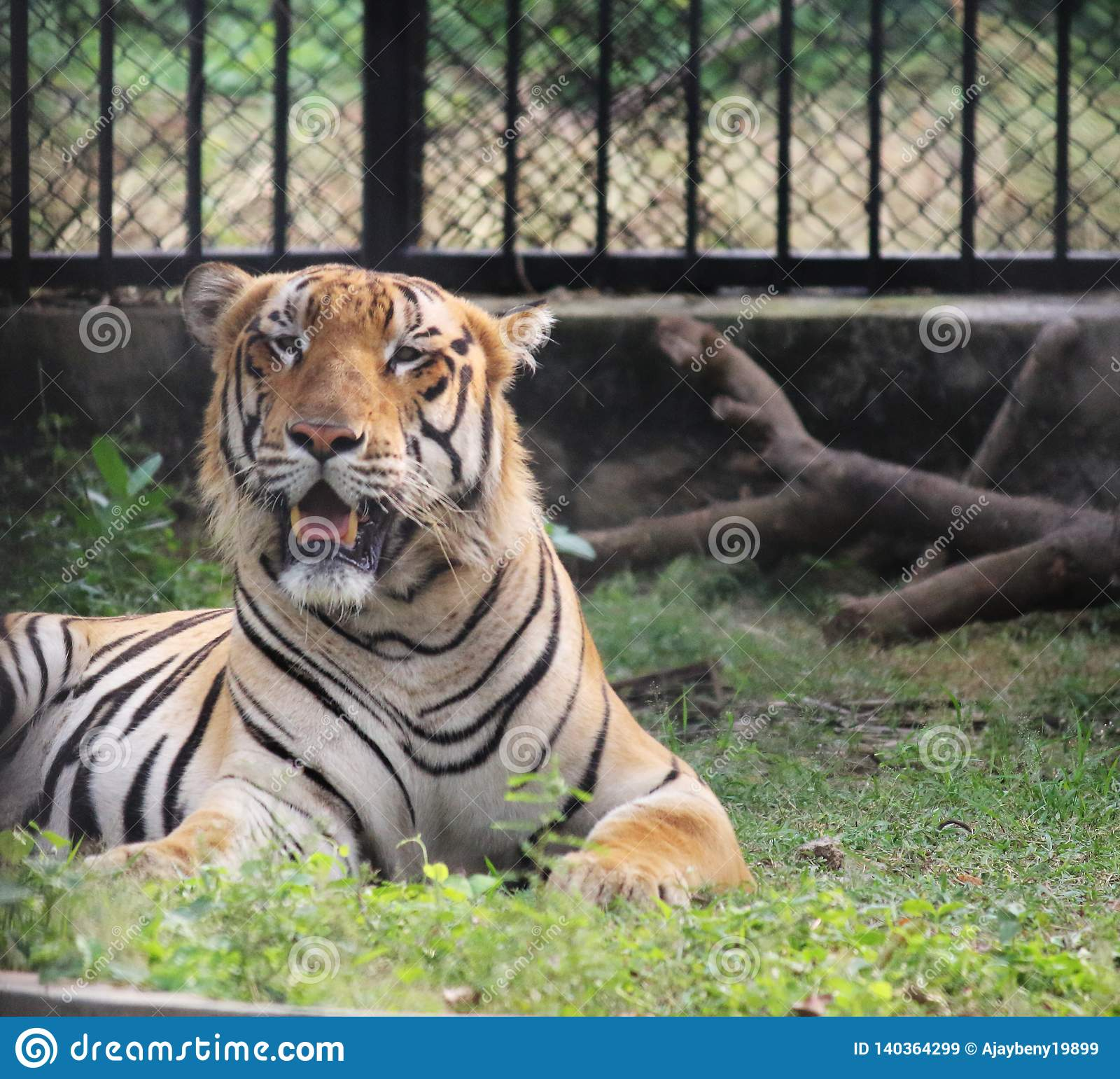 A royal Bengal Tiger Opening its Mouth