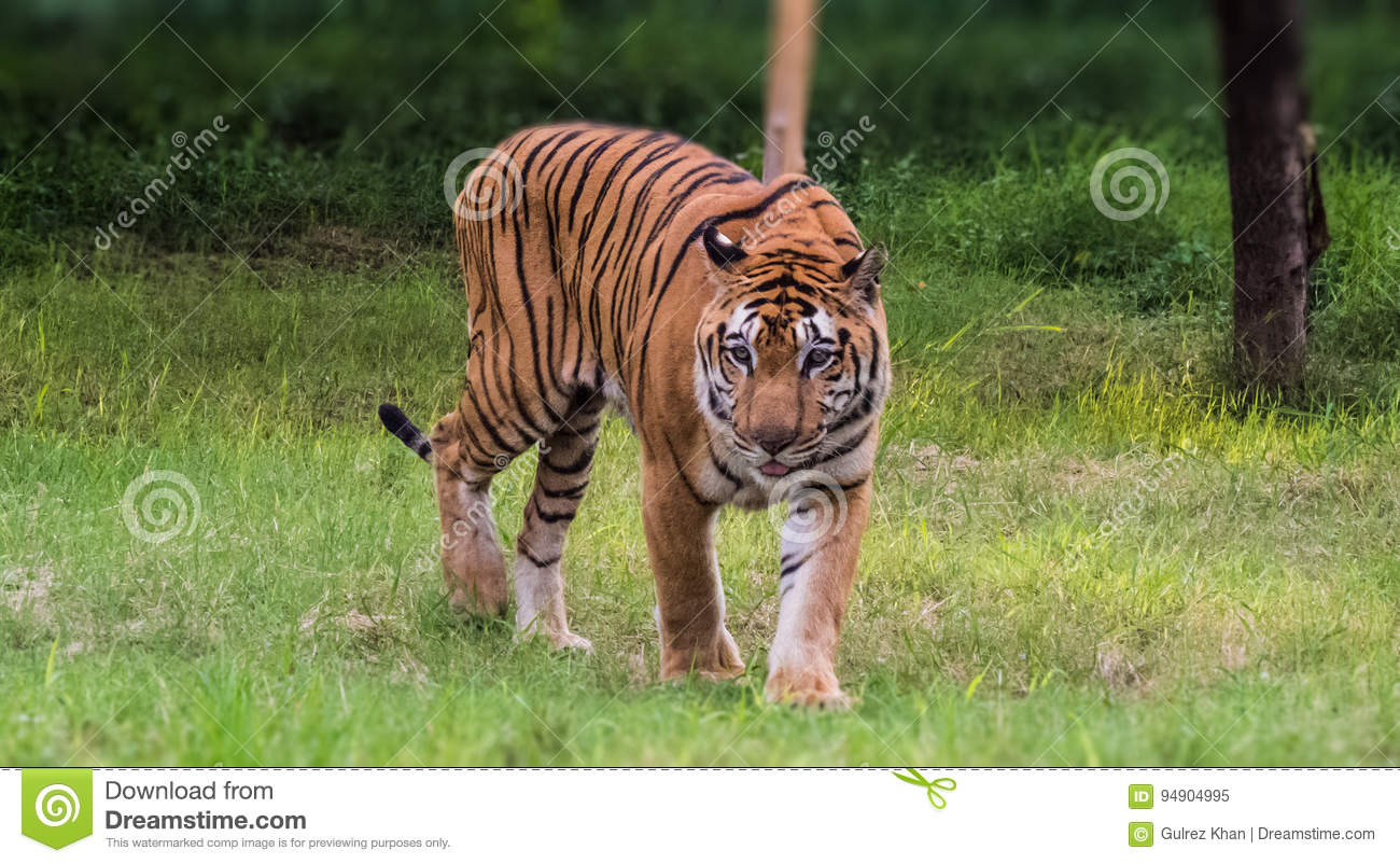Tiger-Royal Bengal Tiger walking with pride in forest