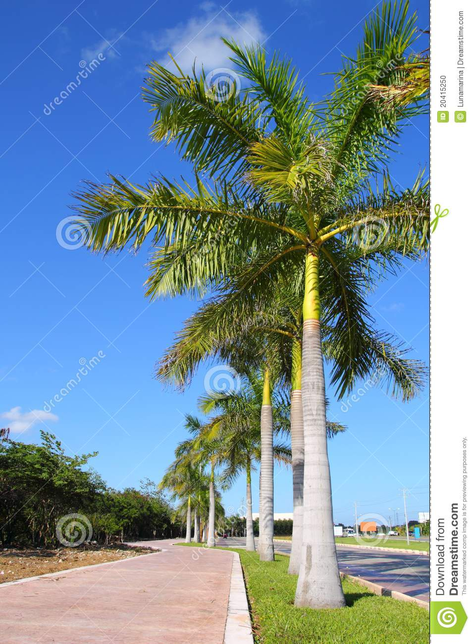 Royal Palm Trees Row In Tropical Garden Road Stock Photo