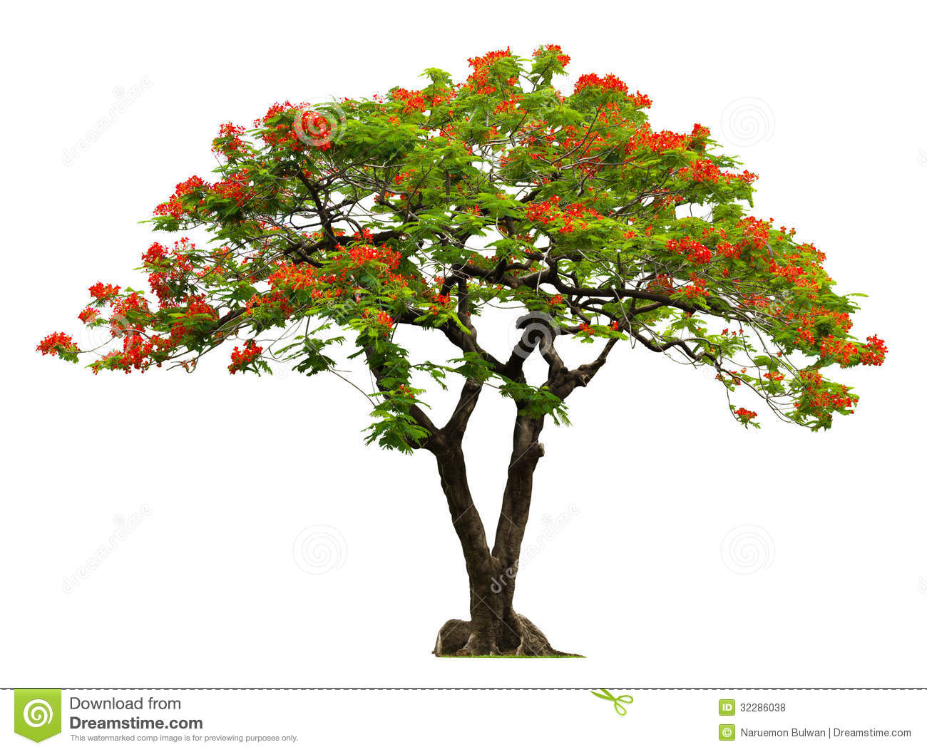 Royal Poinciana Tree With Red Flower Royalty Free Stock
