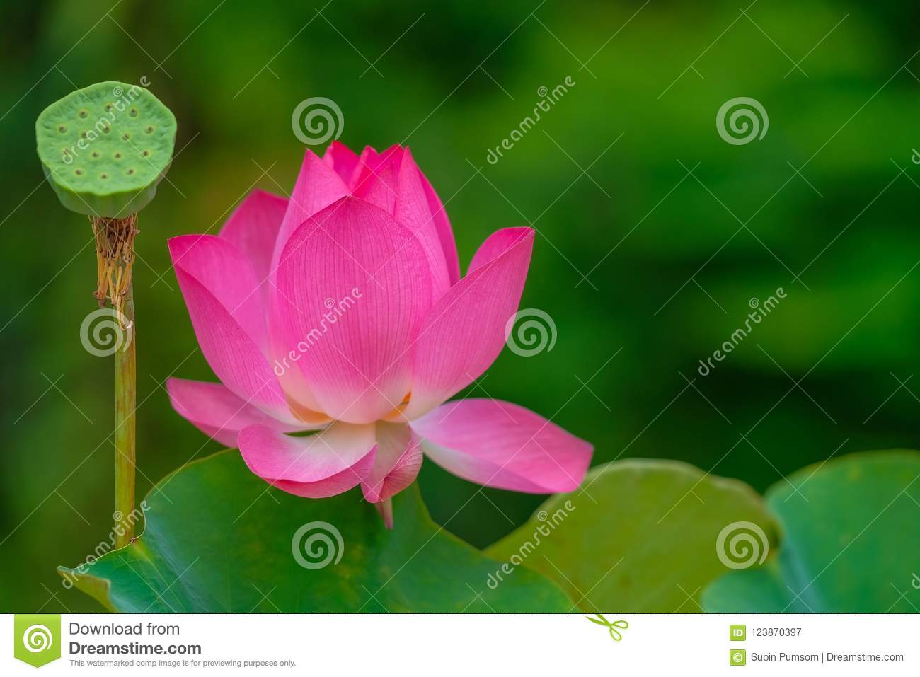 Royalty High Quality Free Stock Image Of A Pink Lotus Flower Stock