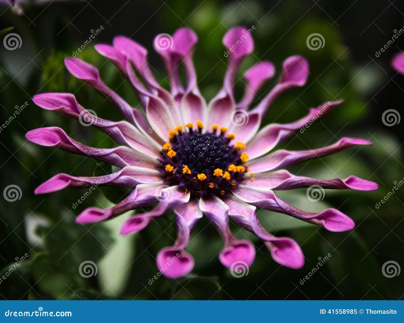 Roze Afrikaanse Daisy bloem