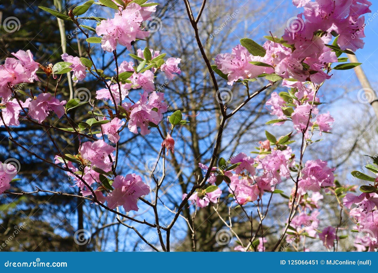 Roze Azalea Bush Flowering in de Lente