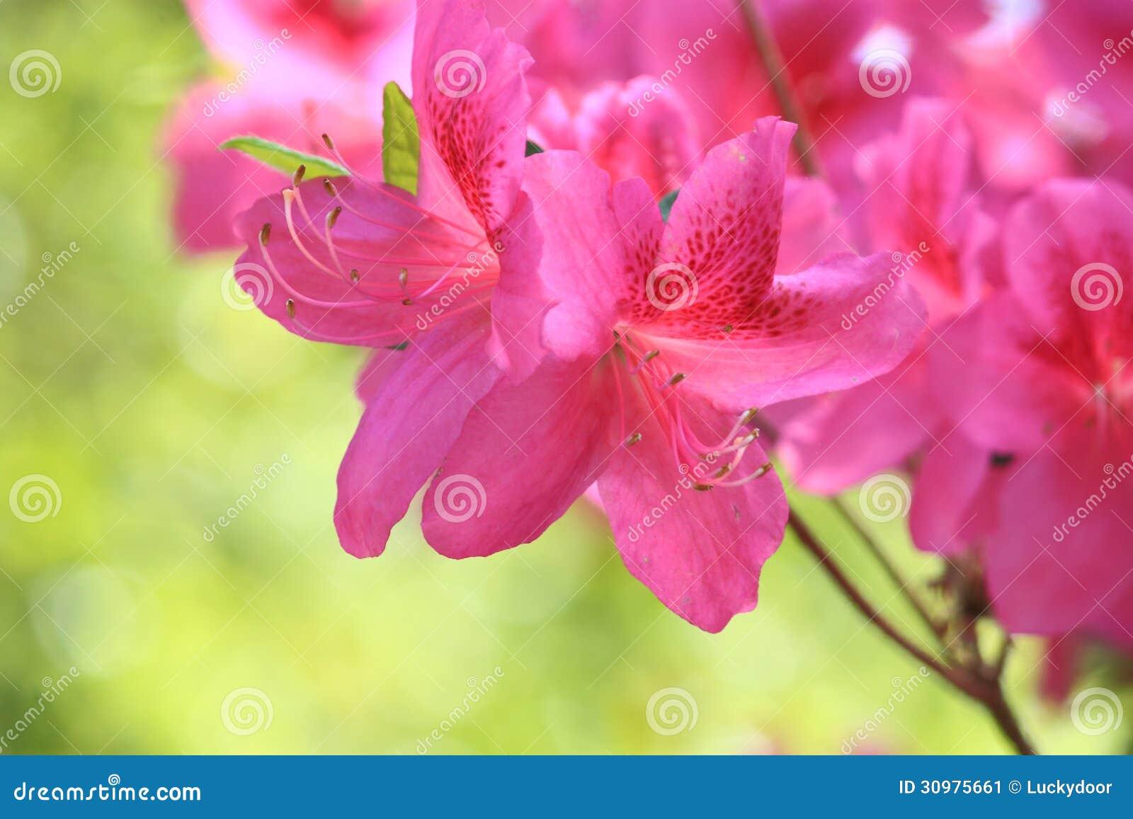 Roze Azalea Flower