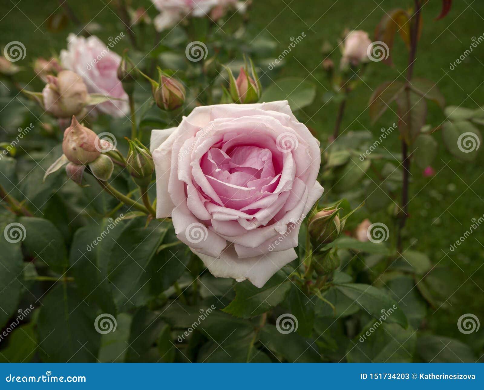 Roze bloeien nam en knoppen op de groene struik toe