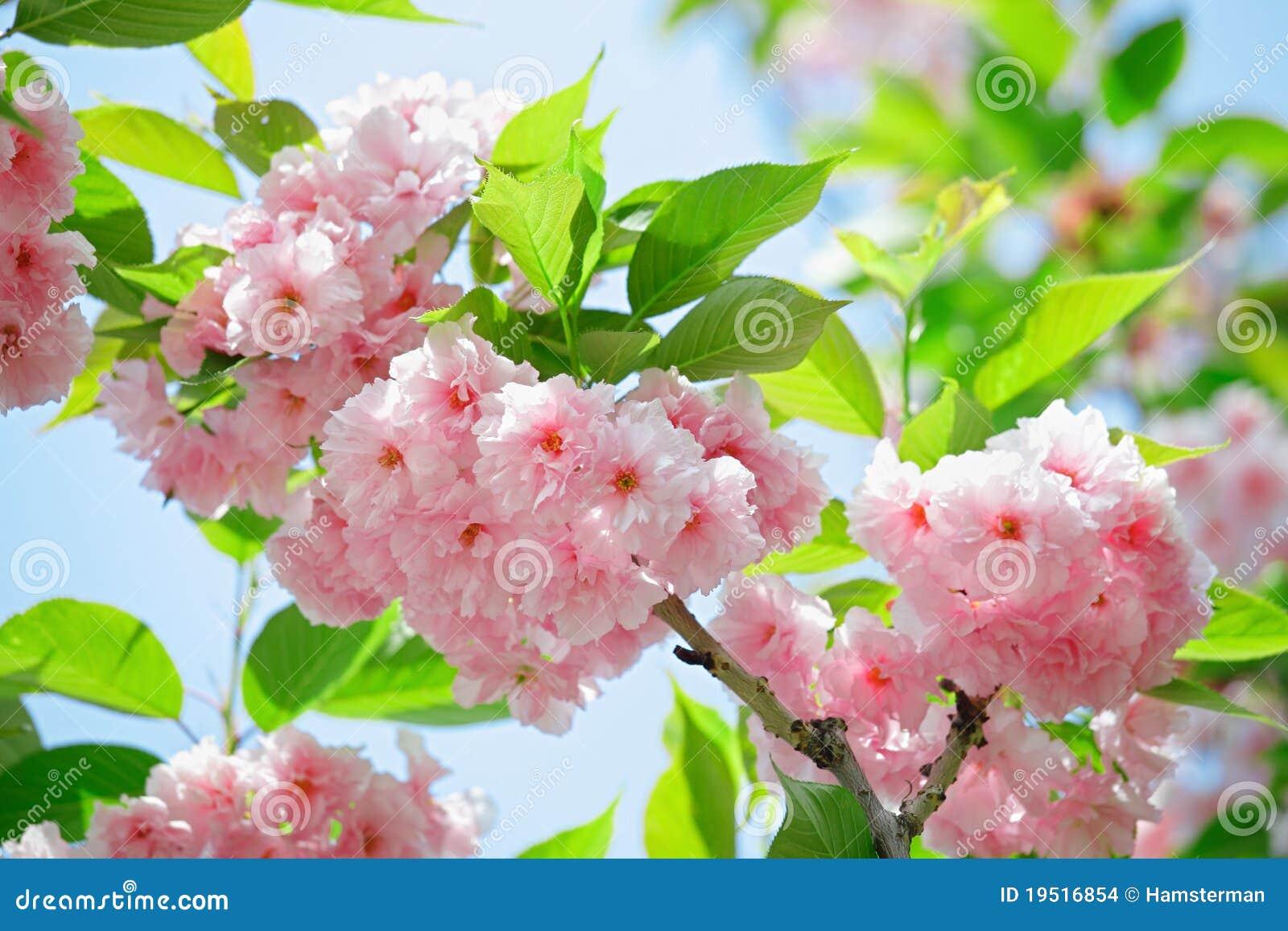 Roze bloeiende Japanse kersen (sakura) bloesem