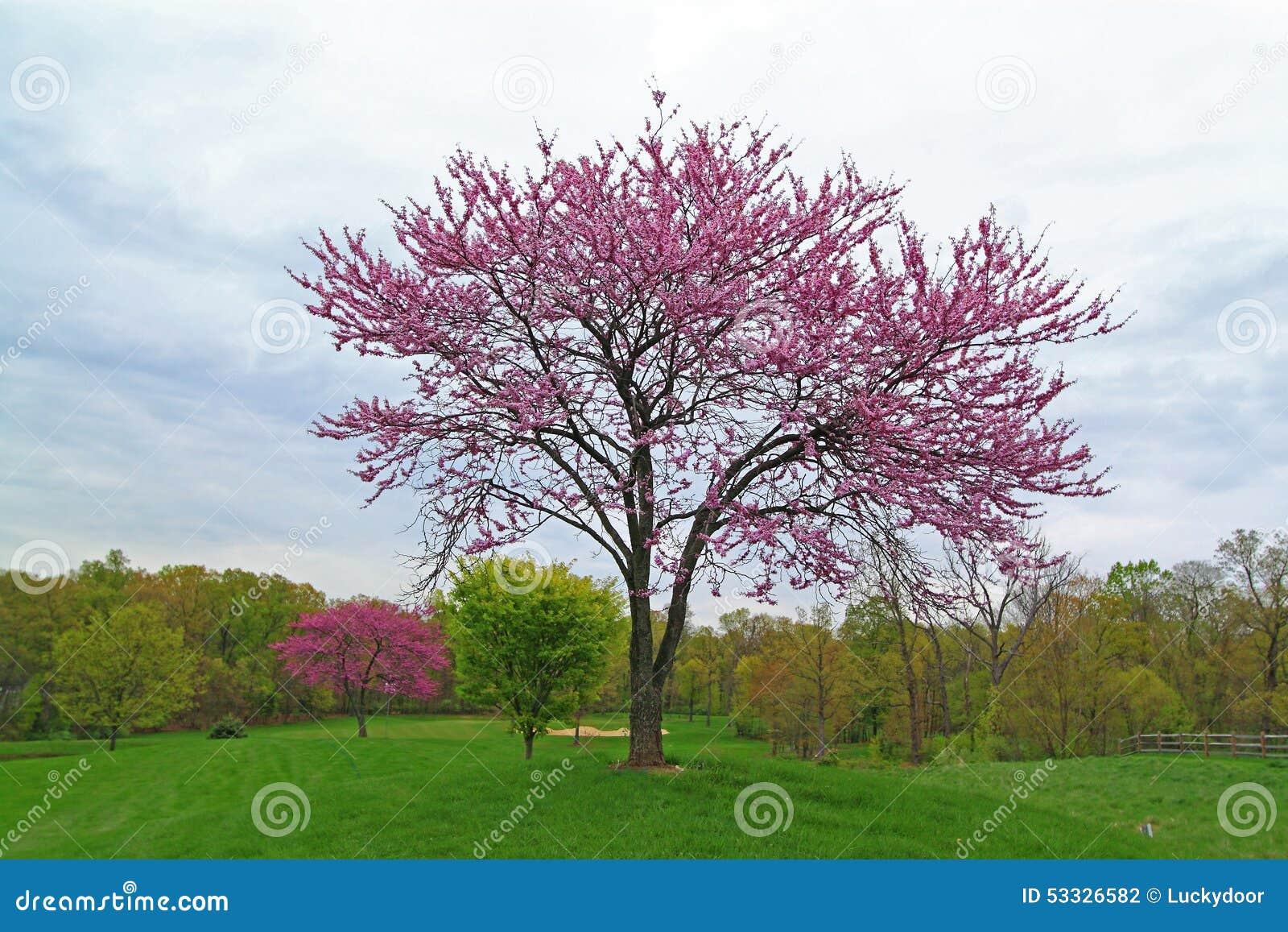 Roze Bloeiende Redbud-Boom