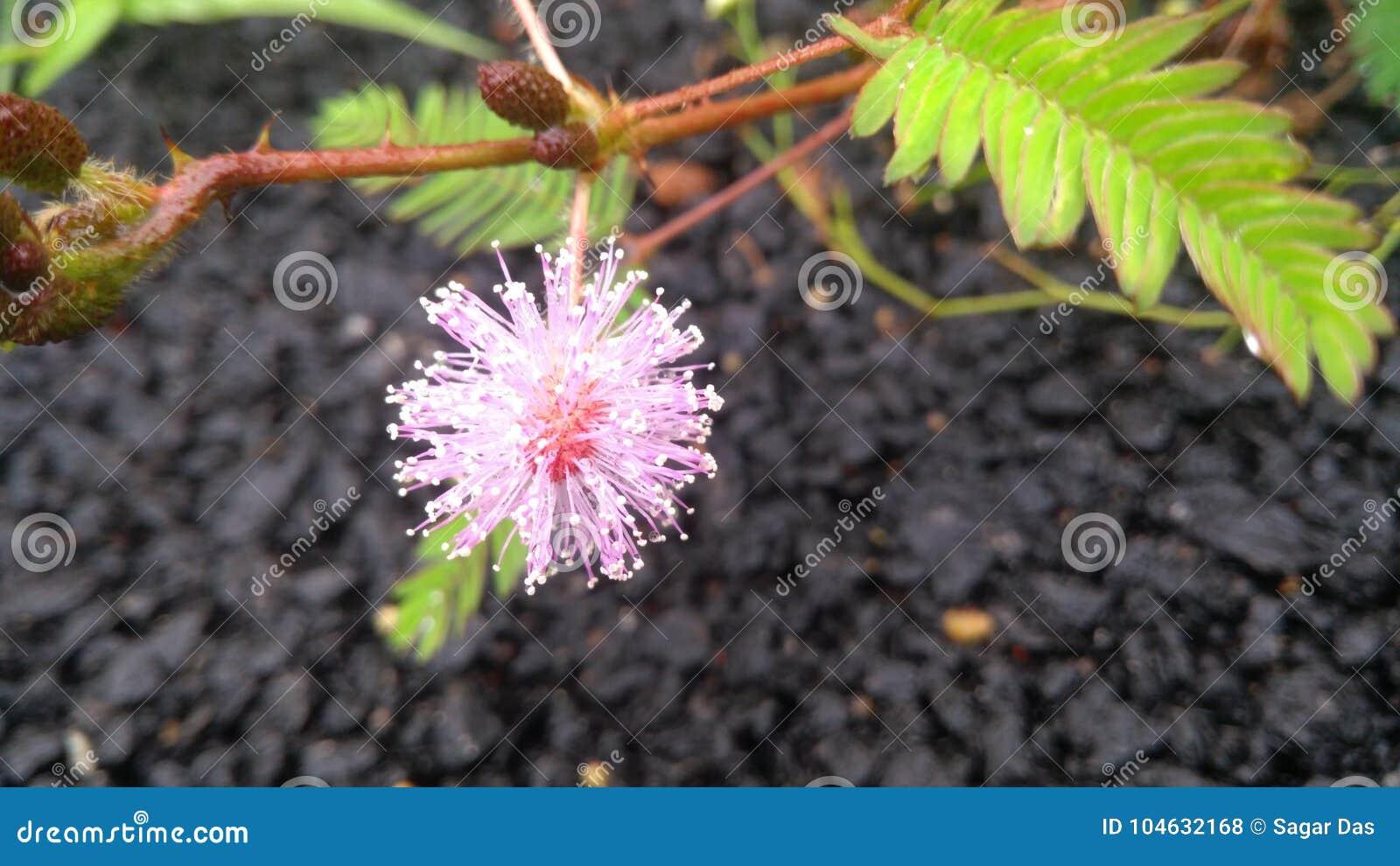 Download Roze bloem in Bangalore stock foto. Afbeelding bestaande uit noodzaak - 104632168