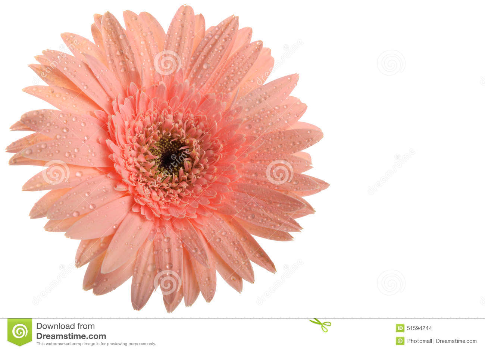 Roze bloem Gerbera