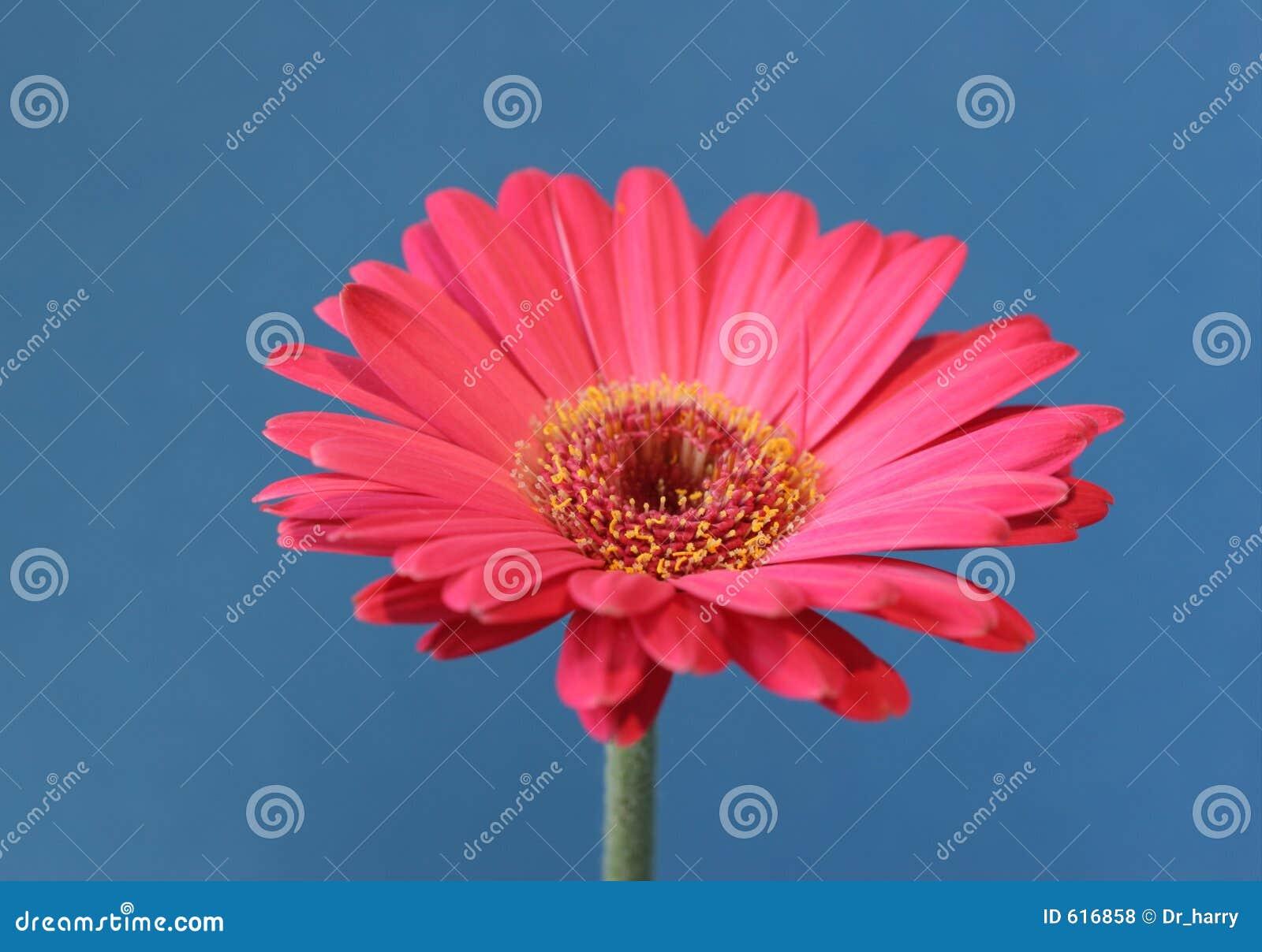 Roze bloem op blauw