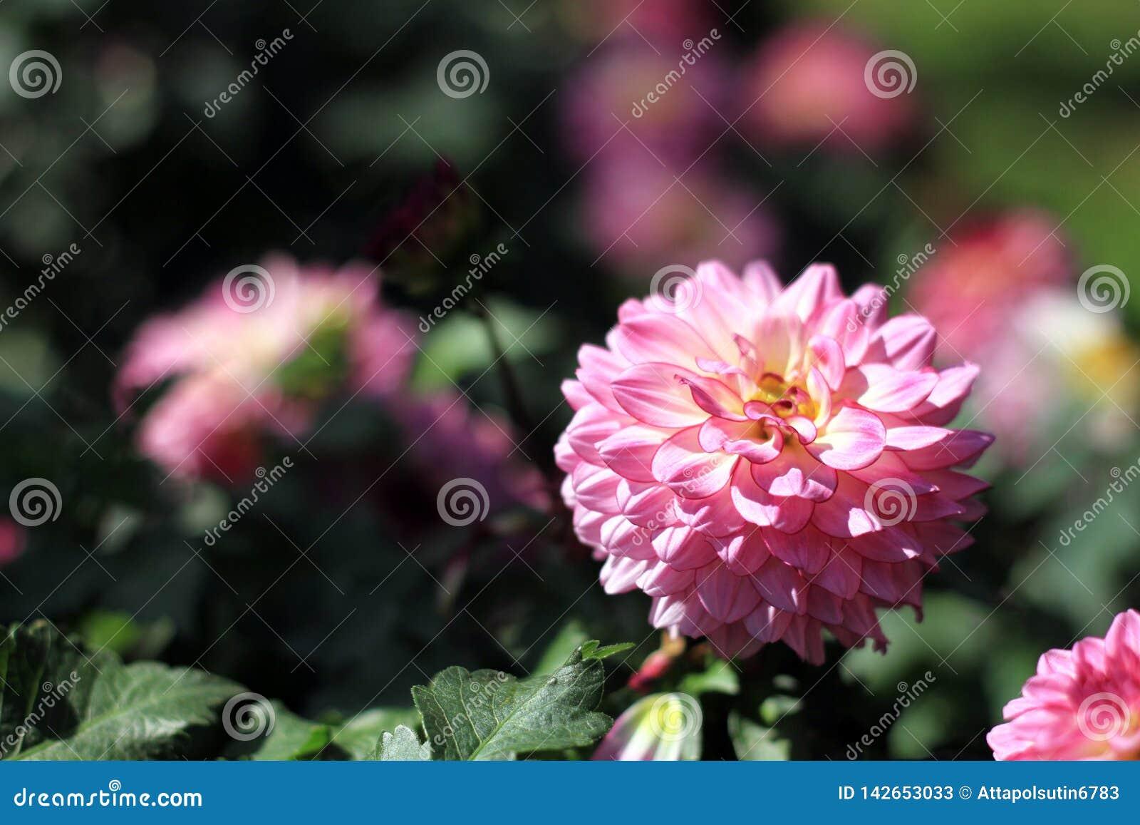 Roze bloemen in de tuin van Thailand
