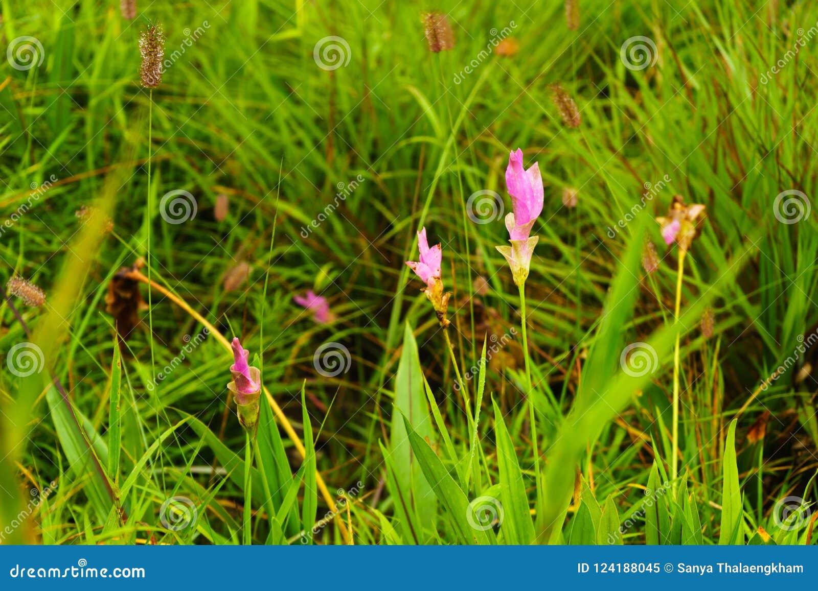 Roze bloemen Siam Tulip Mooi gebied van bloem in Nationale Pa