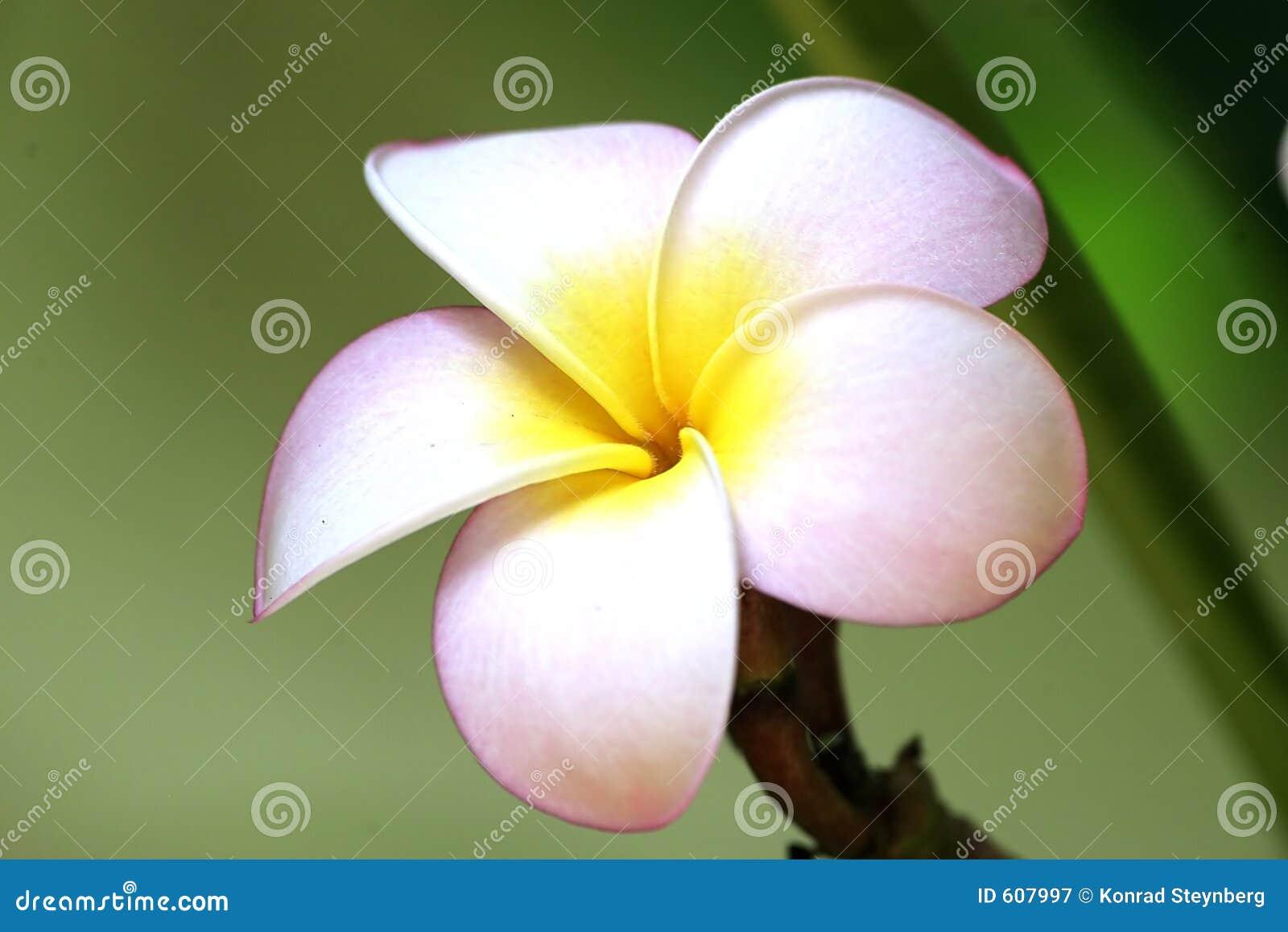 Roze bloemmacro