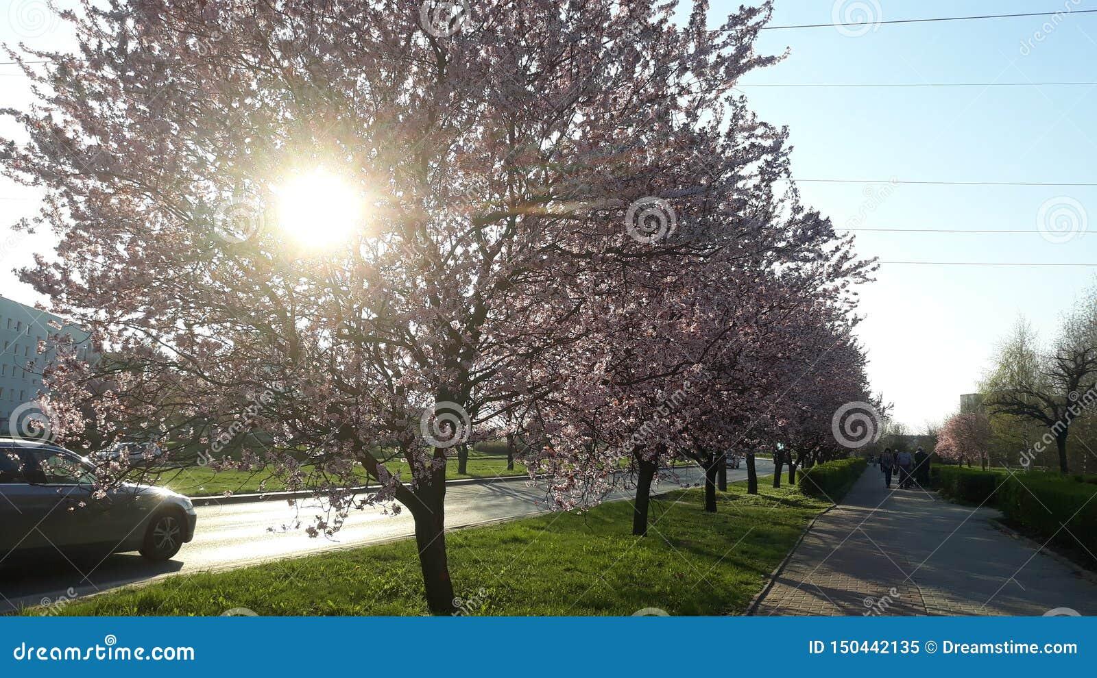Roze Bomen in Stad