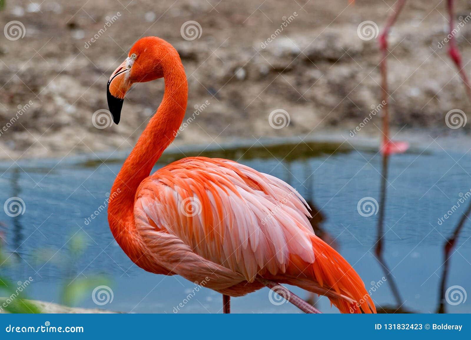 Roze Caraïbische flamingo lat Phoenicopterus Schoonheid, gunst, een speciale charme en een uniciteit van flamingo s