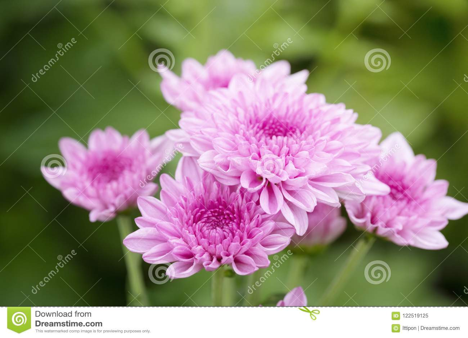 Roze chrysantenbloemen