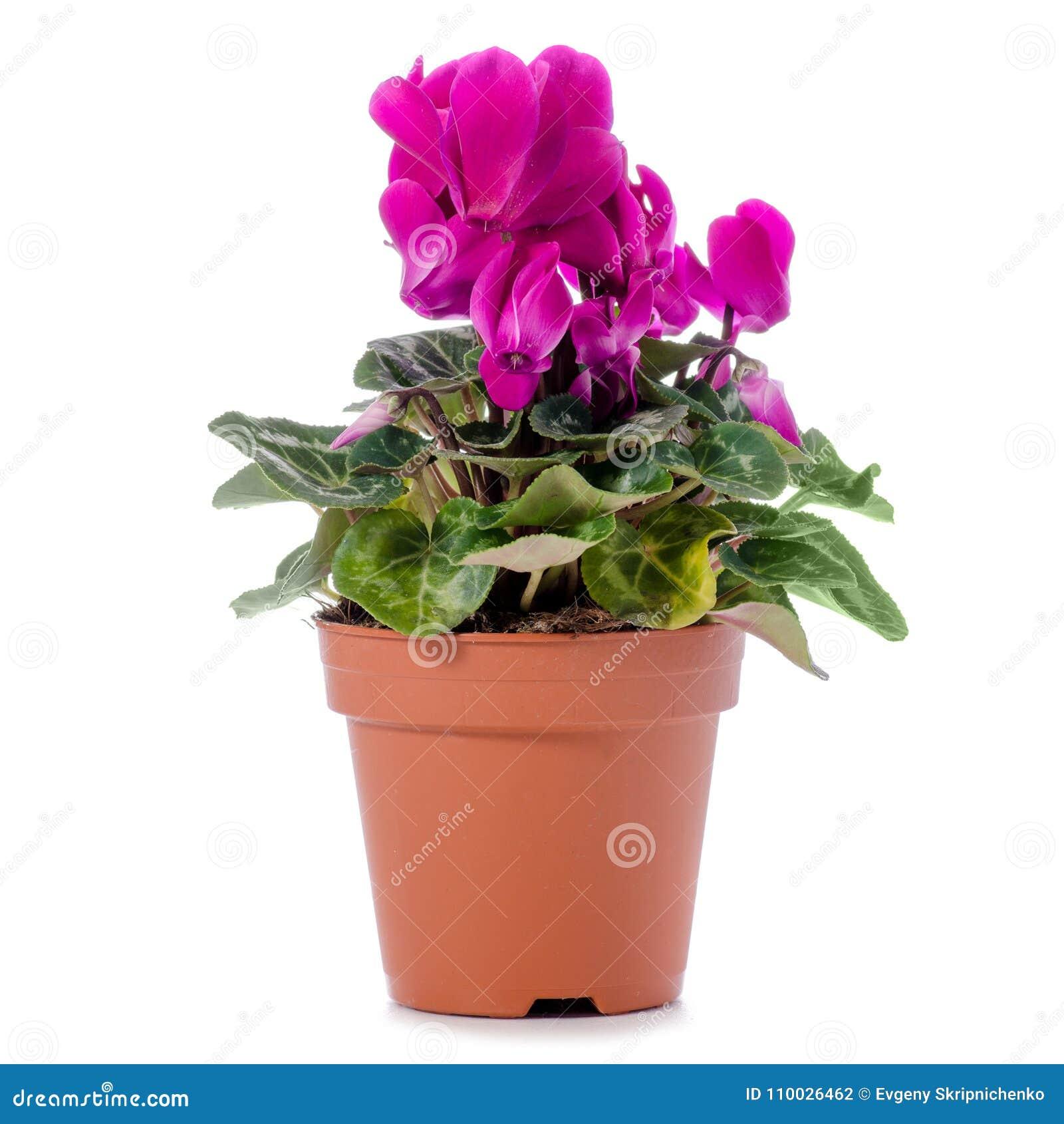 Roze cyclaam in een geïsoleerde pot