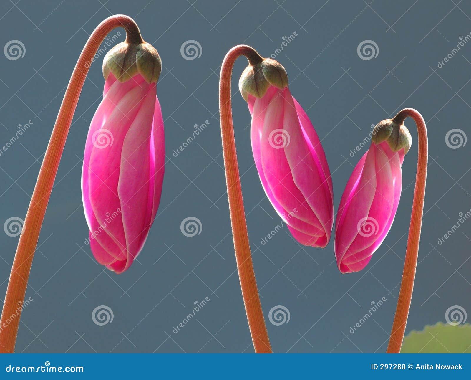 Roze cyclaamknoppen